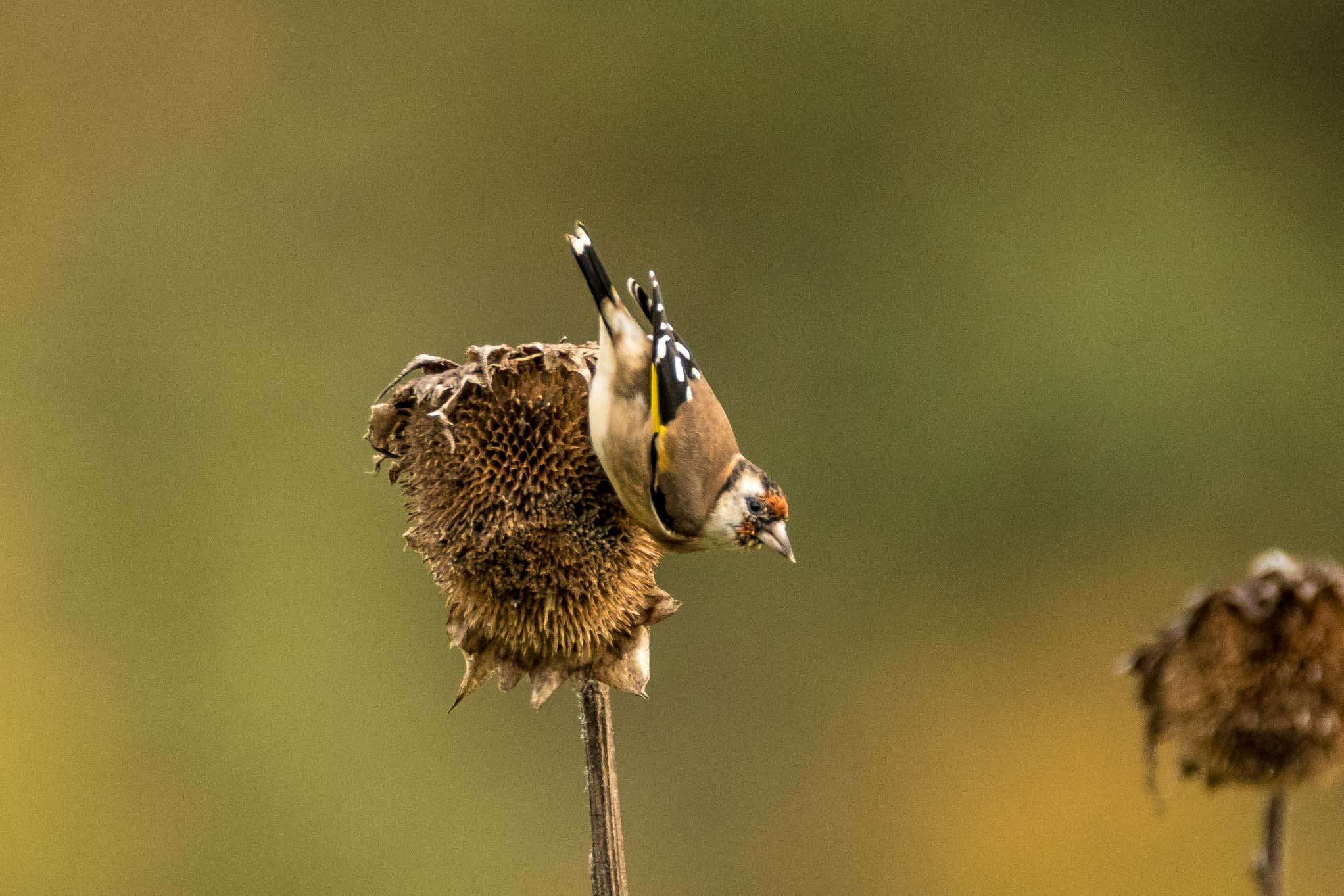 vogel mit gelber brust