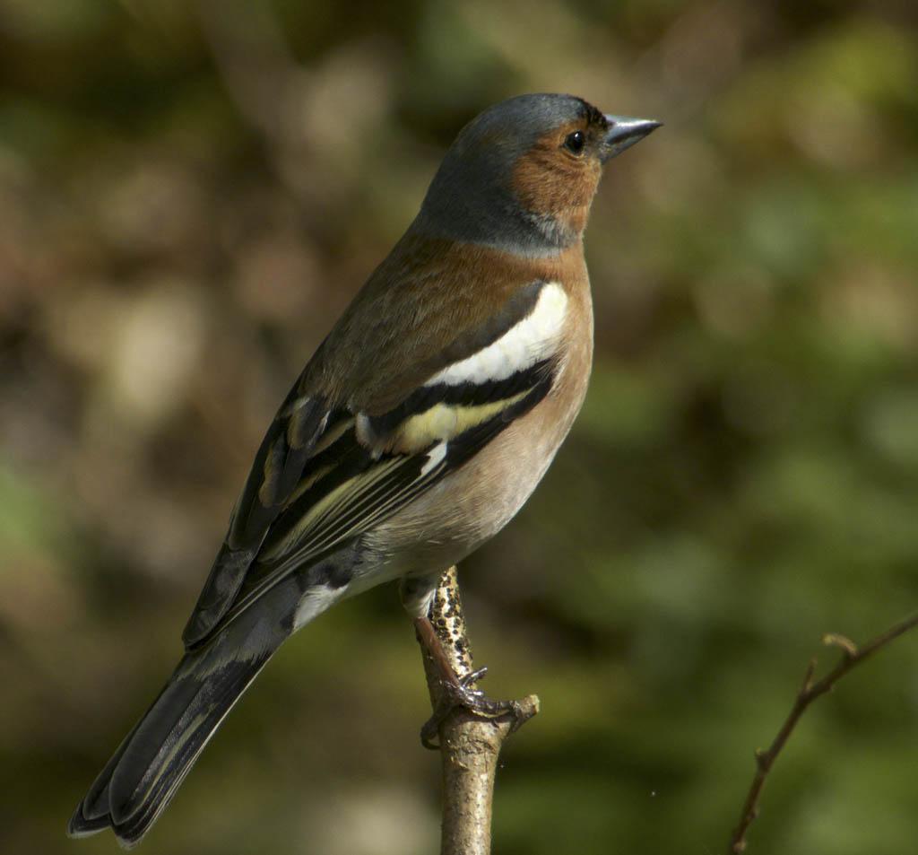 Buchfink – natur erleben online