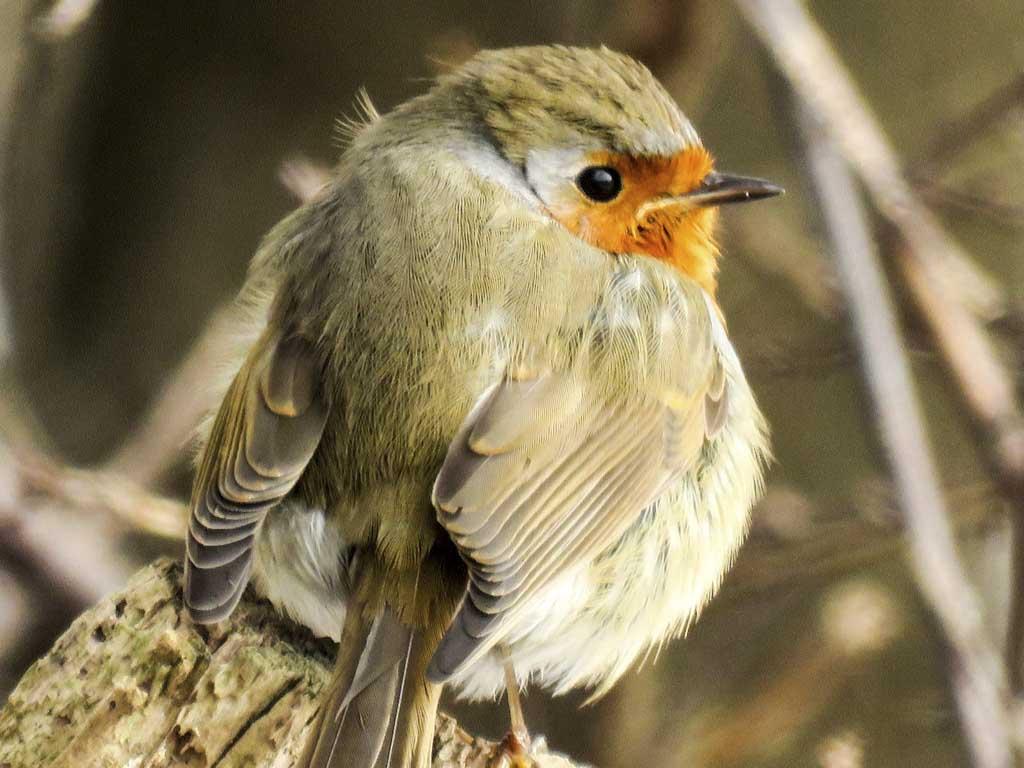 vogel ähnlich wie rotkehlchen