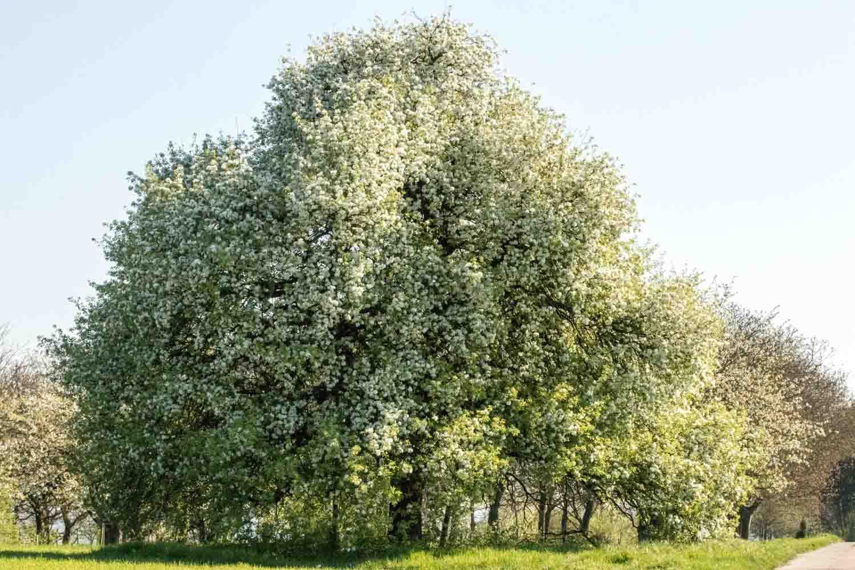birnbaum trägt nicht